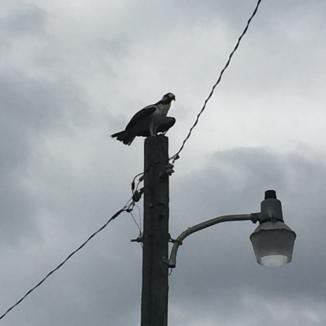Osprey perched atop a light pole